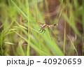 シオカラトンボ 昆虫 トンボ目の写真 40920659
