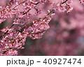 オカメザクラ 春 桜の写真 40927474