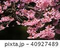 オカメザクラ 春 桜の写真 40927489