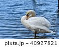 野鳥 鳥 白鳥の写真 40927821