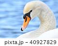 野鳥 鳥 鳥類の写真 40927829