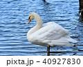野鳥 鳥 白鳥の写真 40927830