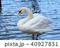 野鳥 鳥 白鳥の写真 40927831
