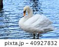 野鳥 鳥 白鳥の写真 40927832