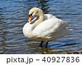 野鳥 鳥 白鳥の写真 40927836
