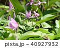春 花 植物の写真 40927932