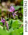 春 花 植物の写真 40927942
