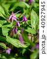 春 花 植物の写真 40927945
