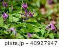 春 花 植物の写真 40927947