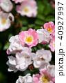 花 ピンク 咲くの写真 40927997