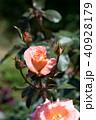 花 植物 咲くの写真 40928179