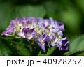 花 咲く 紫陽花の写真 40928252