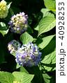 花 紫 咲くの写真 40928253