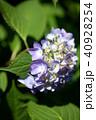花 紫 咲くの写真 40928254