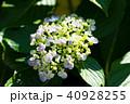 花 咲く 紫陽花の写真 40928255