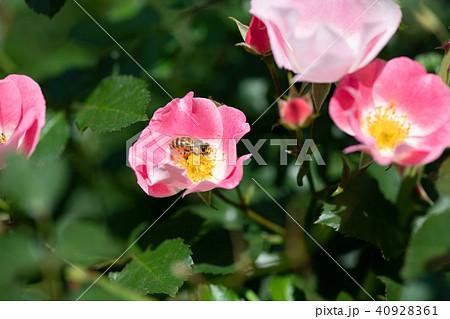 ピンク色のばらの花の蜜を吸うミツバチ 40928361