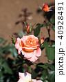 花 咲く ピンクの写真 40928491