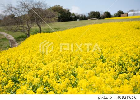 あわじ花さじき 菜の花 40928656