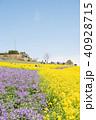 あわじ花さじき 春 菜の花の写真 40928715