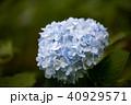 花 あじさい 植物の写真 40929571