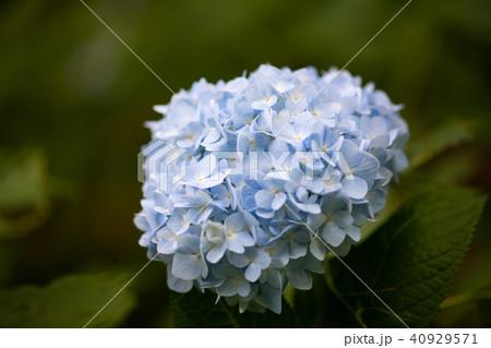 水色のあじさいの花 40929571