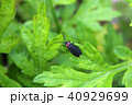 オバボタル 昆虫 甲虫の写真 40929699