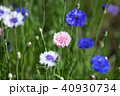 花 ピンク ヤグルマギクの写真 40930734