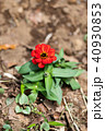 花 ジニア 咲くの写真 40930853
