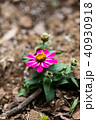花 ピンク ジニアの写真 40930918