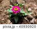 花 ピンク ジニアの写真 40930920