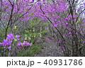 ミツバツツジ 花 植物の写真 40931786