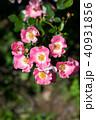 花 咲く ピンクの写真 40931856