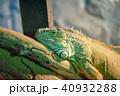 イグアナ 爬虫類 動物の写真 40932288