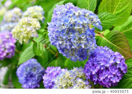 紫陽花と雨 40935075