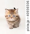 ミヌエット 子猫 40936506