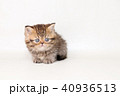 ミヌエット 子猫 40936513