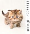 ミヌエット 子猫 40936515