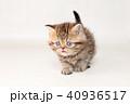 ミヌエット 子猫 40936517