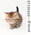 ミヌエット 子猫 40936518