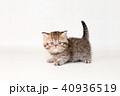 ミヌエット 子猫 40936519