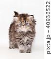 ミヌエット 子猫 40936522