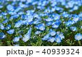ネモフィラ 青色 瑠璃唐草の写真 40939324