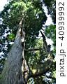 新緑 天狗の腰掛け杉 杉の写真 40939992