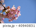 日本の桜 40940831