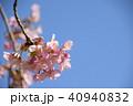 日本の桜 40940832
