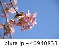 日本の桜 40940833