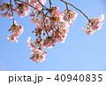 日本の桜 40940835