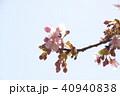 日本の桜 40940838