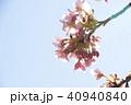 日本の桜 40940840