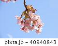 日本の桜 40940843